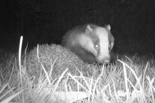 The encounter between the badger and the hedgehog