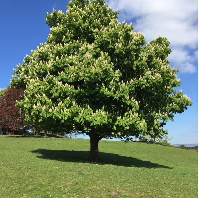 The Horse Chestnut tree