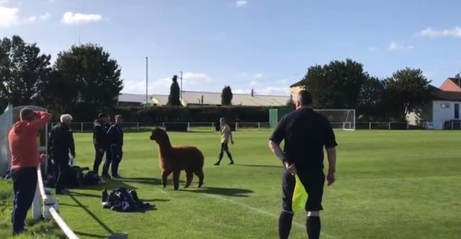 An Alpaca forced Ilkley Town's clash with Carlton Athletic to be paused