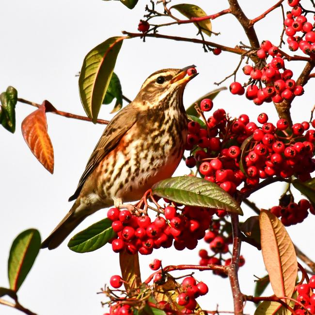 Redwings at Guiseley by John Waite