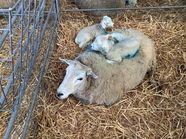 Ilkley Gazette: David Hudson took this photographs of newborn lambs with their mum