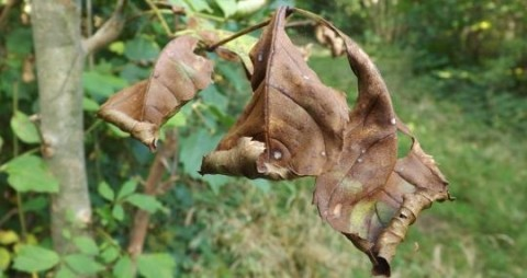 Leaves show signs on ash dieback