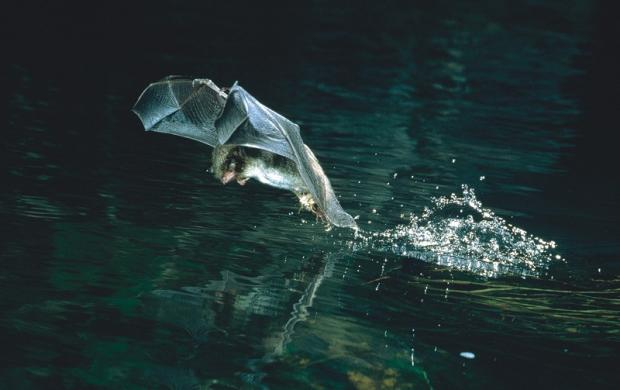 A Daubenton's bat skimming the water (Picture: F Greenaway ©)