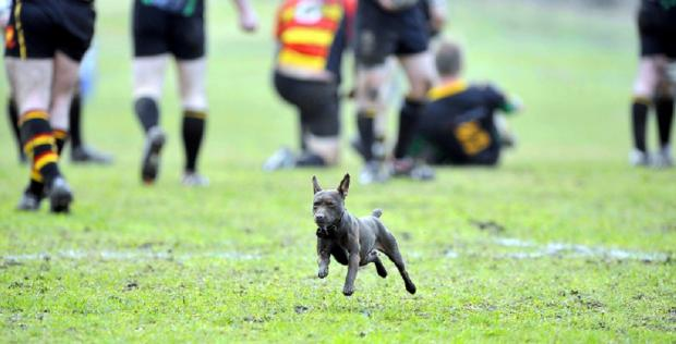 Not even a dog interrupting play could halt Old Grovians in their 20-3 victory over Harrogate Pythons last Saturday