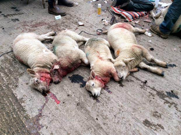 "Ilkley Gazette: Four of the five lambs that were killed in the attack, which left the survivors ""frightened to death"""