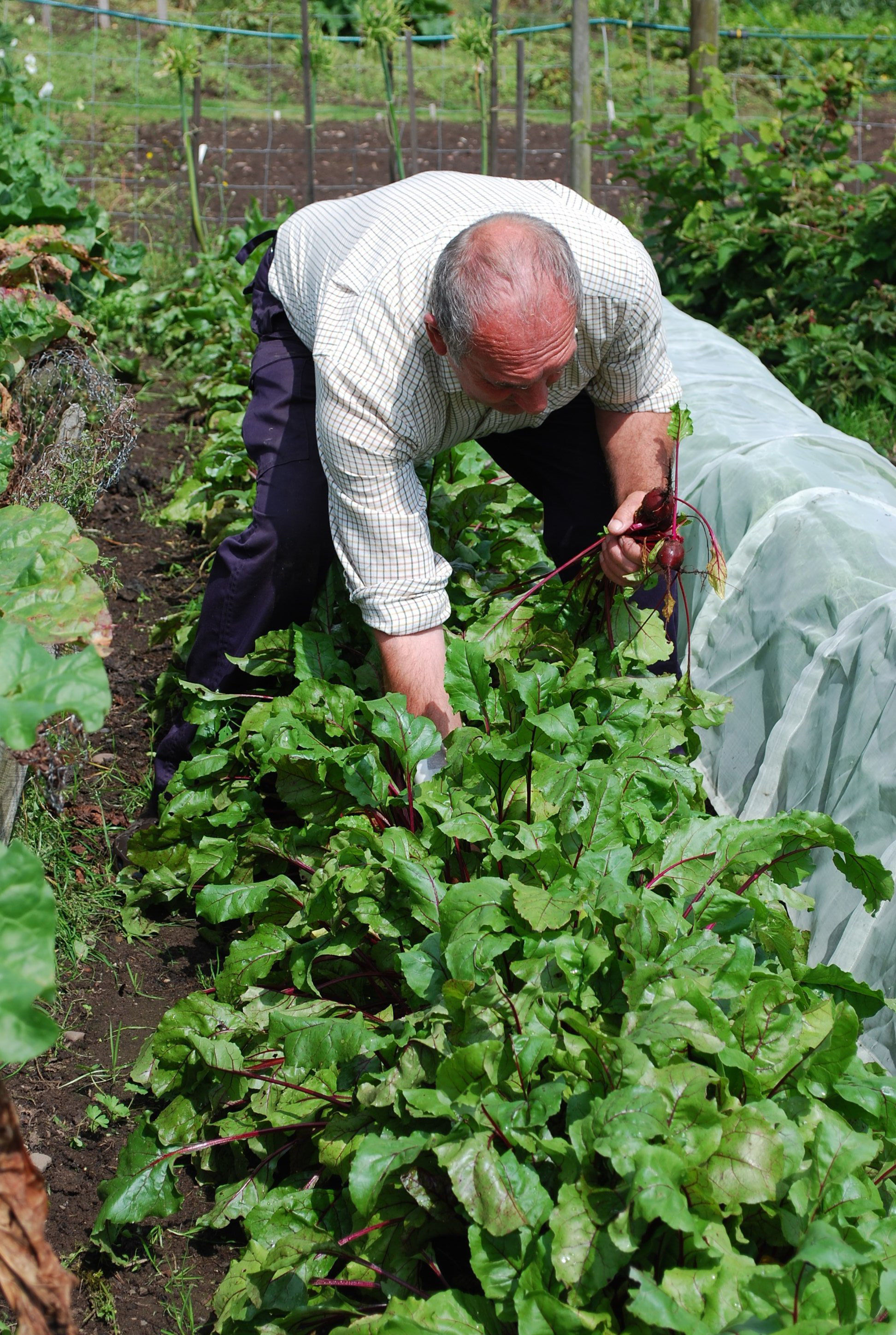 A man tends to his allotment