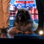 Ilkley Gazette: Hagrid the 13-stone dog will attempt to break a world record on BGMT