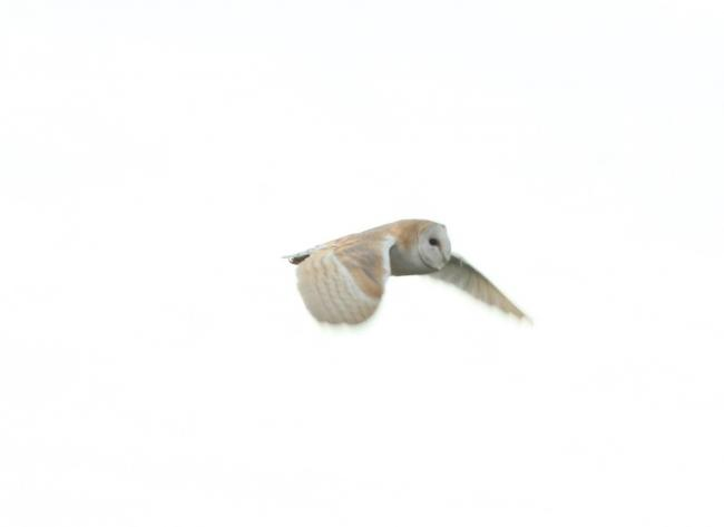 A barn owl in flight. Photograph by David O'Connor