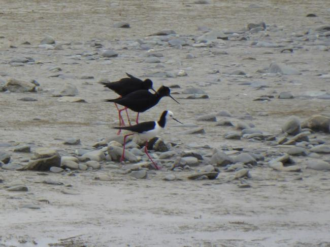 A pair of black stilts behind a common black-winged stilt