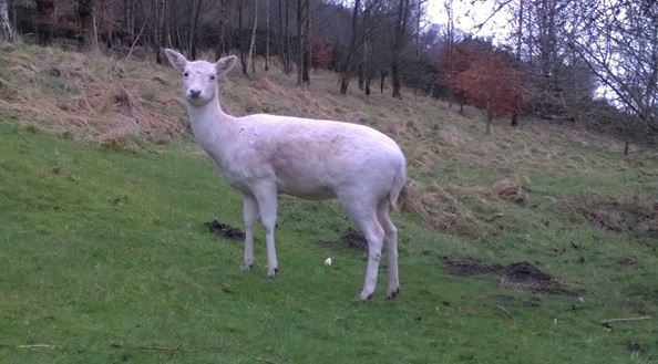 A white roe deer