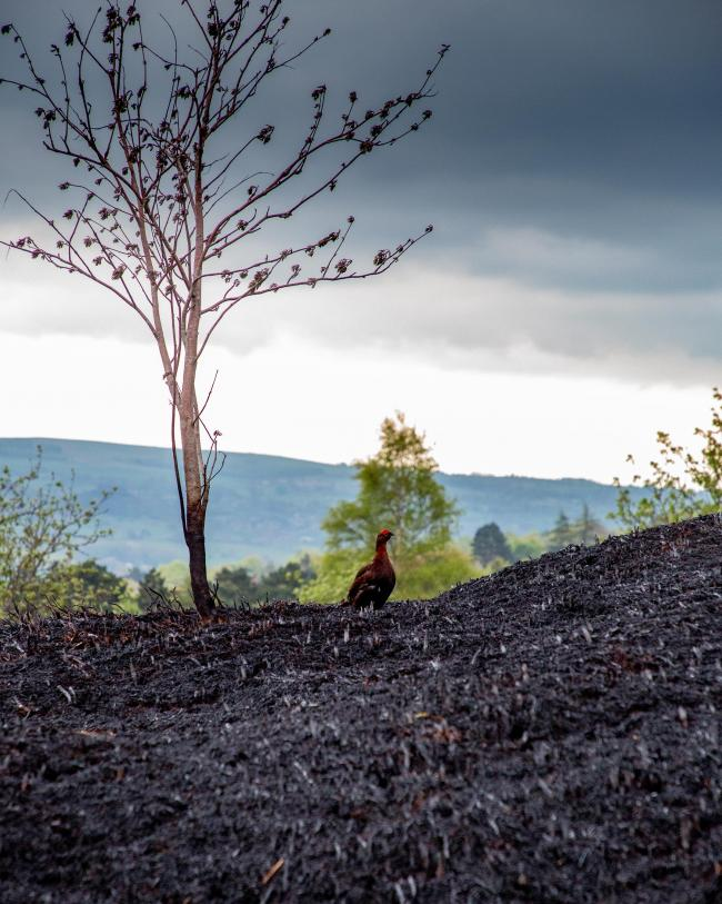 A red grouse on Ilkley Moor after the fire. Picture: Neil Skipper